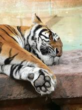 450pxpanthera_tigris11
